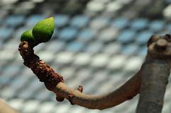 Knospender roter Baumwollbaum Stockfotografie
