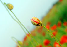 Knospenmohnblumen Stockfoto