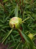 Knospenpfingstrosenblume lizenzfreie stockfotos