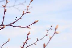 Knospungsbaum im Frühjahr Stockfotografie