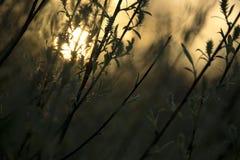 Knospungsweidenstrauch im Vorfrühling lizenzfreie stockfotos