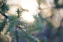 Knospungsweidenstrauch im Vorfrühling stockbilder