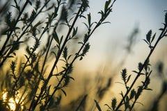 Knospungsweidenstrauch im Vorfrühling stockfotografie