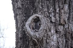 Knot in the bark of a tree Royalty Free Stock Image