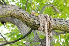 Knot on branch Royalty Free Stock Photo