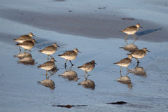 Knot, Calidris canutus. Group of birds on beach, South Uist, Hebrides, September 2015 Royalty Free Stock Photos