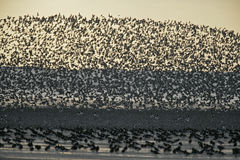 Knot, Calidris canutus. Large flock in flight, Norfolk Stock Photo