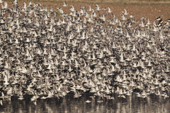 Knot, Calidris canutus. Large flock in flight, Snettisham RSPB reserve, Norfolk, winter 2010 Royalty Free Stock Photo