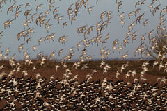Knot, Calidris canutus. Large flock in flight, Snettisham RSPB reserve, Norfolk, winter 2010 Royalty Free Stock Photography