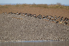 Knot, Calidris canutus. Large flock at roost in pits with oystercatchers, Snettisham RSPB reserve, Norfolk, winter 2010 Stock Image