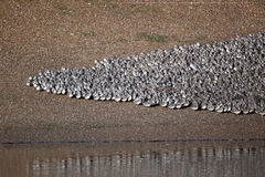 Knot, Calidris canutus. Large flock at roost in pits, Snettisham RSPB reserve, Norfolk, winter 2010 Stock Photo