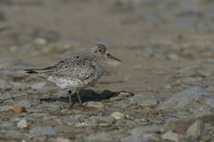 Knot, Calidris canutus. Single bird on beach, Norfolk Stock Image