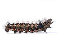 Free Knot Grass Moth Caterpillar - Acronicta Rumicis Stock Photo - 27855230