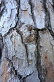 Knot on the old tree bark. Wood skin structure background stock photography