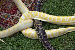 Knot of pythons Stock Photography