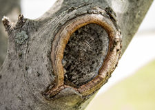 Knot in tree branch. Unique knot in tree trunk with texture Stock Images