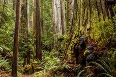 Knoten auf ein Moos umfassten Altwachstumsrotholzbaum Mammutbaum sempervirens in einem Nord-Kalifornien-Wald lizenzfreie stockfotos