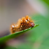 Knoten-Gras (Acronicta rumicis) Lizenzfreie Stockfotografie