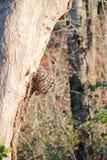 Knoten oder Verunstaltung auf Ahornbaum lizenzfreie stockfotos