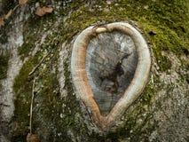 Knothole de uma árvore velha na forma de um coração fotos de stock