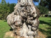 Knotig cypress Arkivfoton