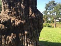 Knotig cypress Fotografering för Bildbyråer