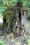 Knotig trädstubbe Royaltyfri Foto