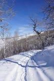Knotiga Krumholz aspar fodrar en snöskoslinga Arkivfoton