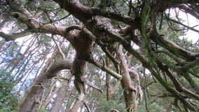 Knotiga scots sörjer träd Arkivfoton
