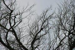 Knotige Niederlassungen auf altem Baum A sehr stockfotografie