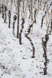 Knotige Reben in einem Weinberg mit Schnee Stockbilder
