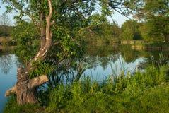 Knotiger Baum auf einem See lizenzfreie stockbilder