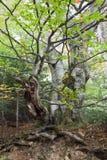 Knotiger Buchenbaum Stockbild