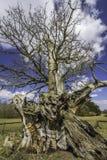 Knotiger verdrehter Stamm einer alten Eiche Stockbilder