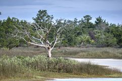 Knotigt dött trädskelett nationell djurlivfristad i för salt träsk, Pickney ö, USA royaltyfria bilder
