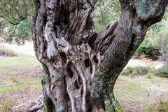 Knotigt gammalt träd i olivdungen av Sarti, Chalkidikki, Grekland royaltyfri fotografi