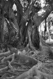 Knotigt gammalt träd i svartvitt Arkivfoton