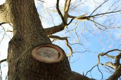 Knotigt gammalt träd som växer upp royaltyfri fotografi