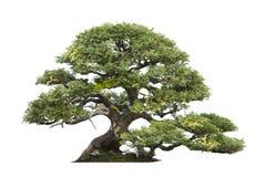 Knotigt träd som isoleras Arkivbild