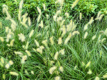 Knotroot foxtail Royalty Free Stock Photos