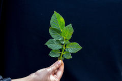 Knots on Fresh Green Leaf Of Potato Plant broken by Phytophthora Infestan Royalty Free Stock Photography