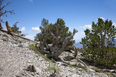 Knotted Bristle Cone Pine. A knotted Bristle Cone Pine Tree on a mountain side royalty free stock photo