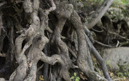 Knotted Roots Royalty Free Stock Photo
