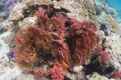 Knotted sea fan (Melithaea ochracea) Royalty Free Stock Photography