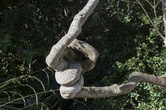 Knotted Tree royalty free stock photography