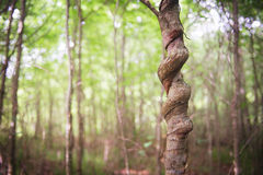 KNotted tree Royalty Free Stock Image