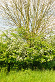 Knotted willow and hawthorn in a hedge in spring Stock Image