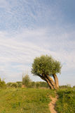 Knotted willow in landscape Stock Photos