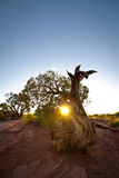Knotty juniper tree at sunset Royalty Free Stock Image