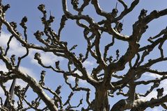 Knotty Old Tree Royalty Free Stock Photography
